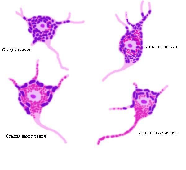 Нейросекреция фото